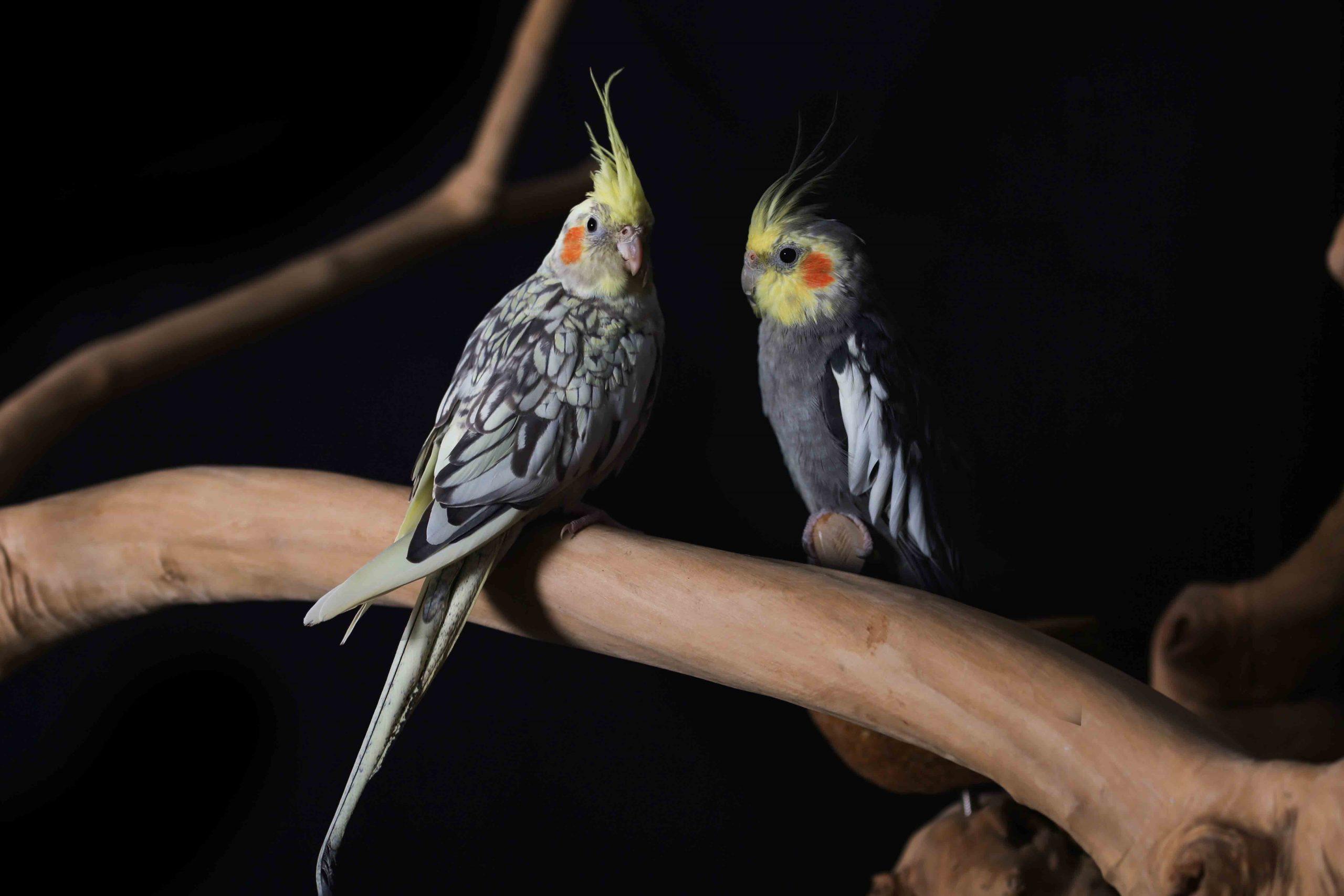 Yankee et Yuka les perruches calopsittes