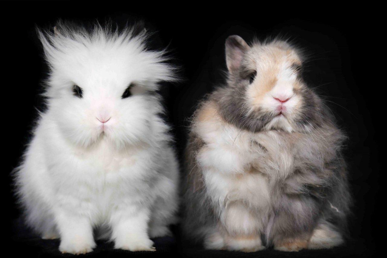 Coton et Juanito les lapins nains