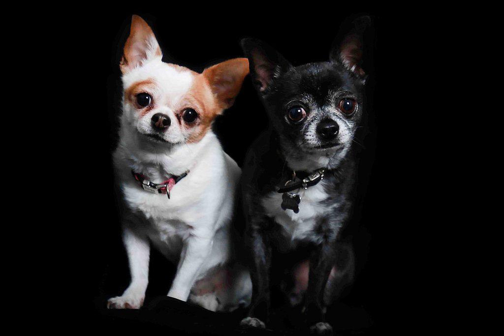 Kim et Jango: 2 chihuahuas