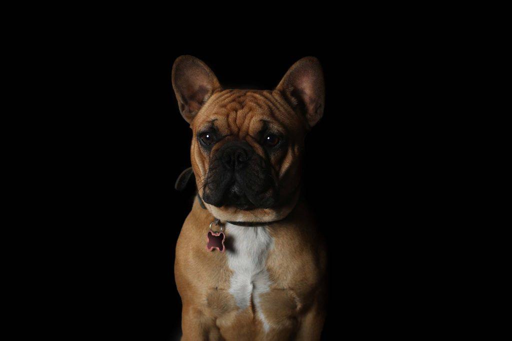 Lucy bouledogue français