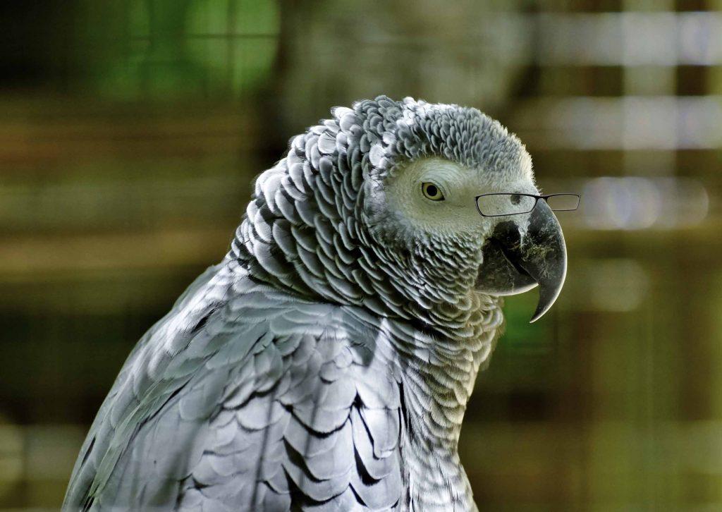 Vieux perroquet