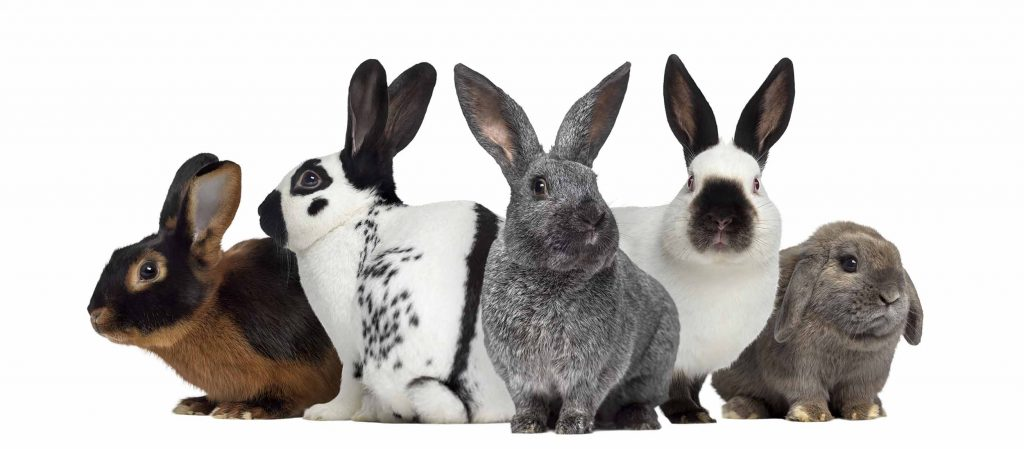 group pf rabbits
